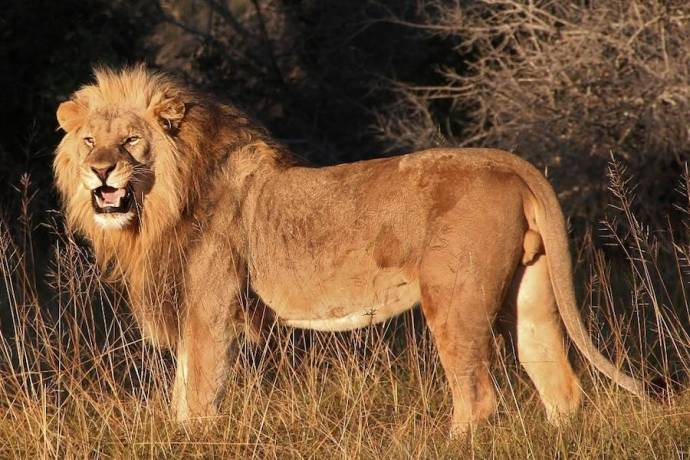 Lion In Sibuya Reserve Africa